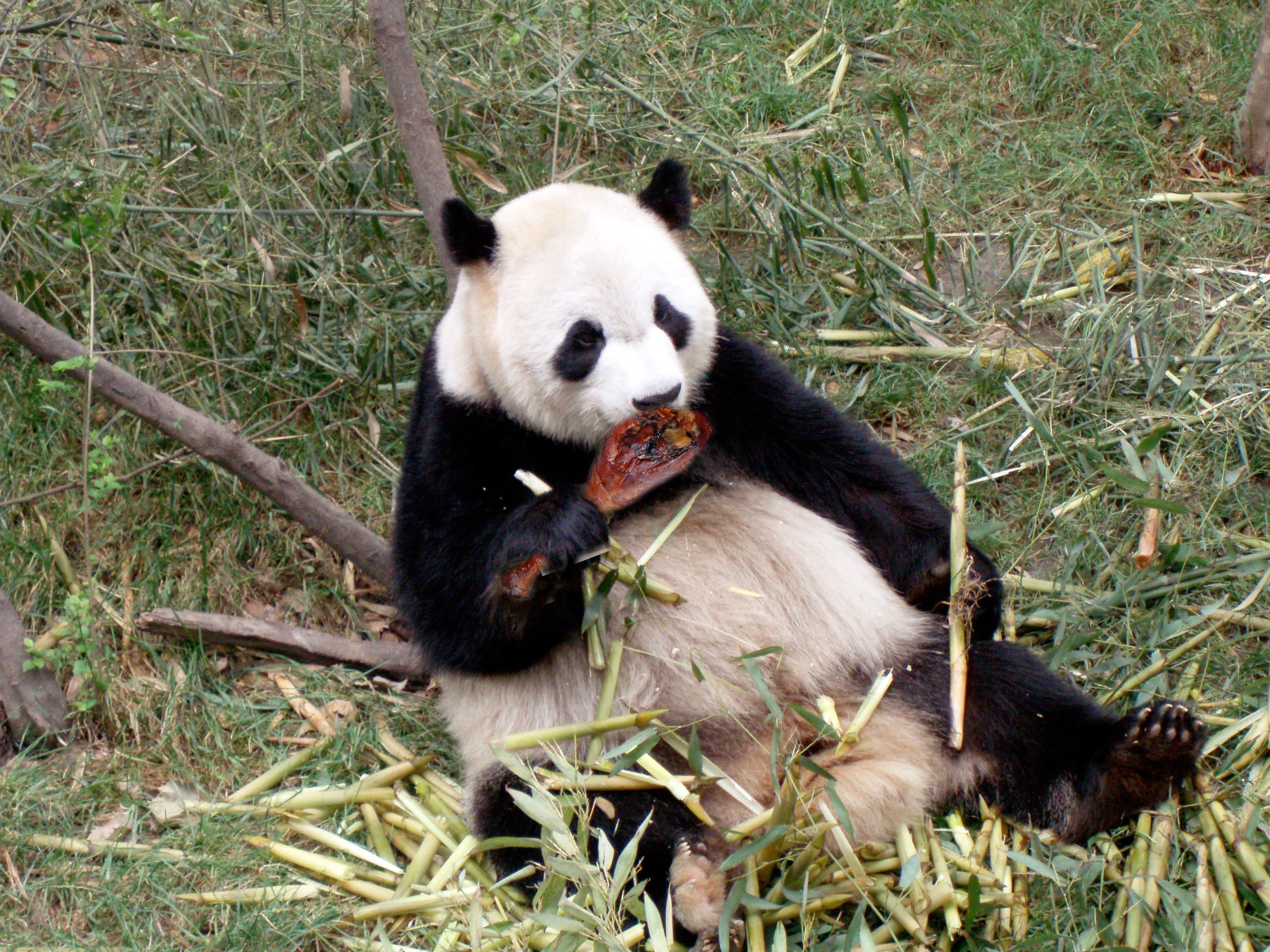 What Food Do Pandas Eat